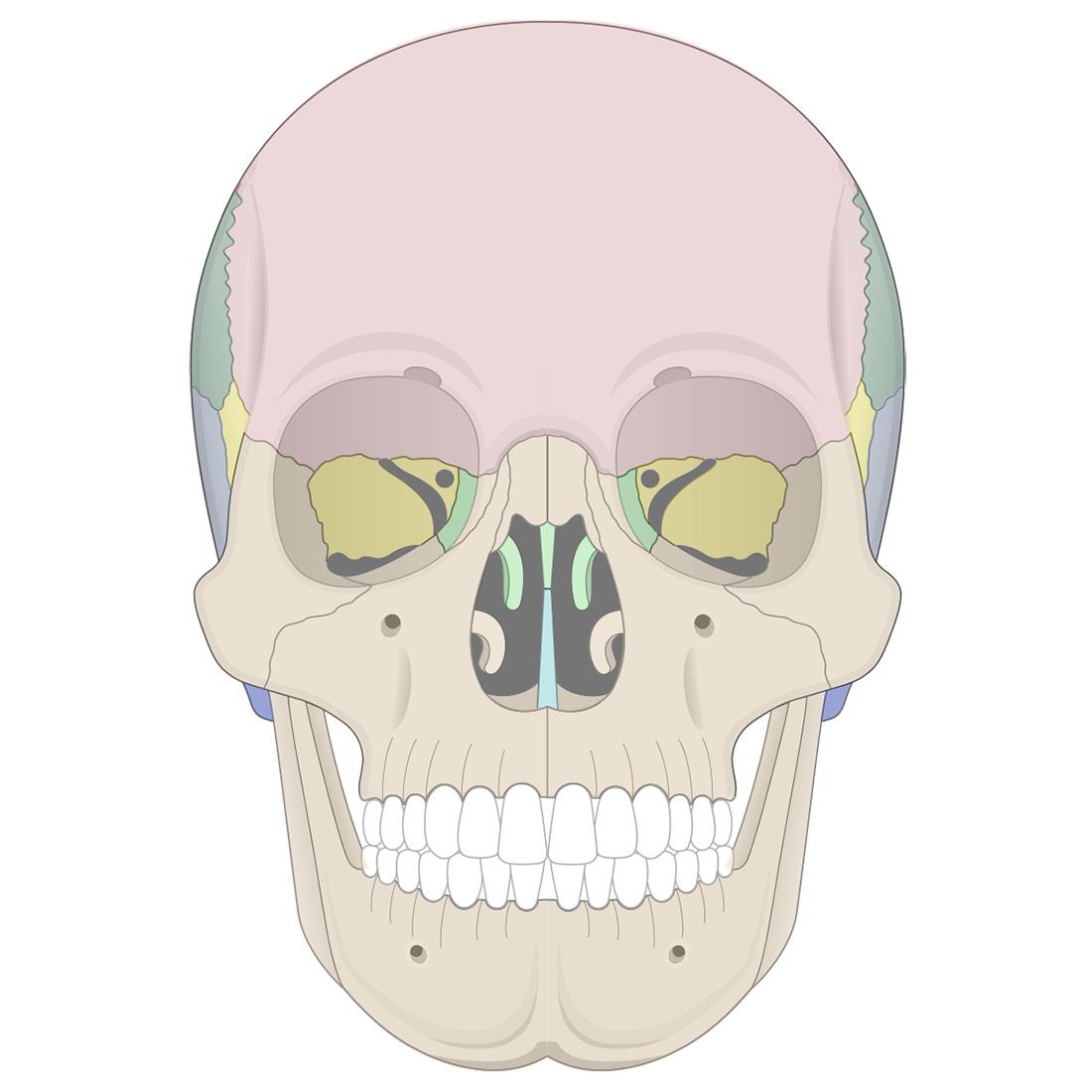 Cranial bones: anterior view of the skull