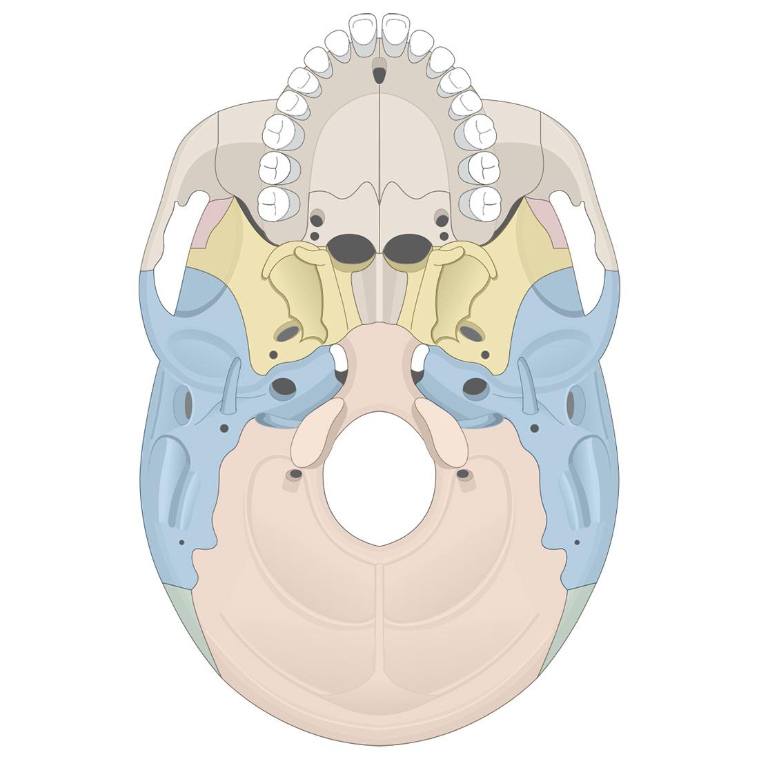 Cranial bones: inferior view of the skull