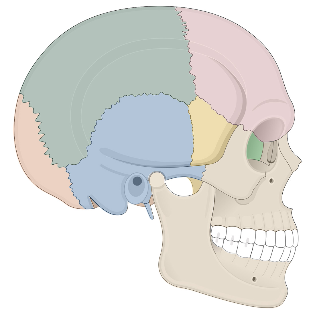 Cranial bones: lateral view of the skull