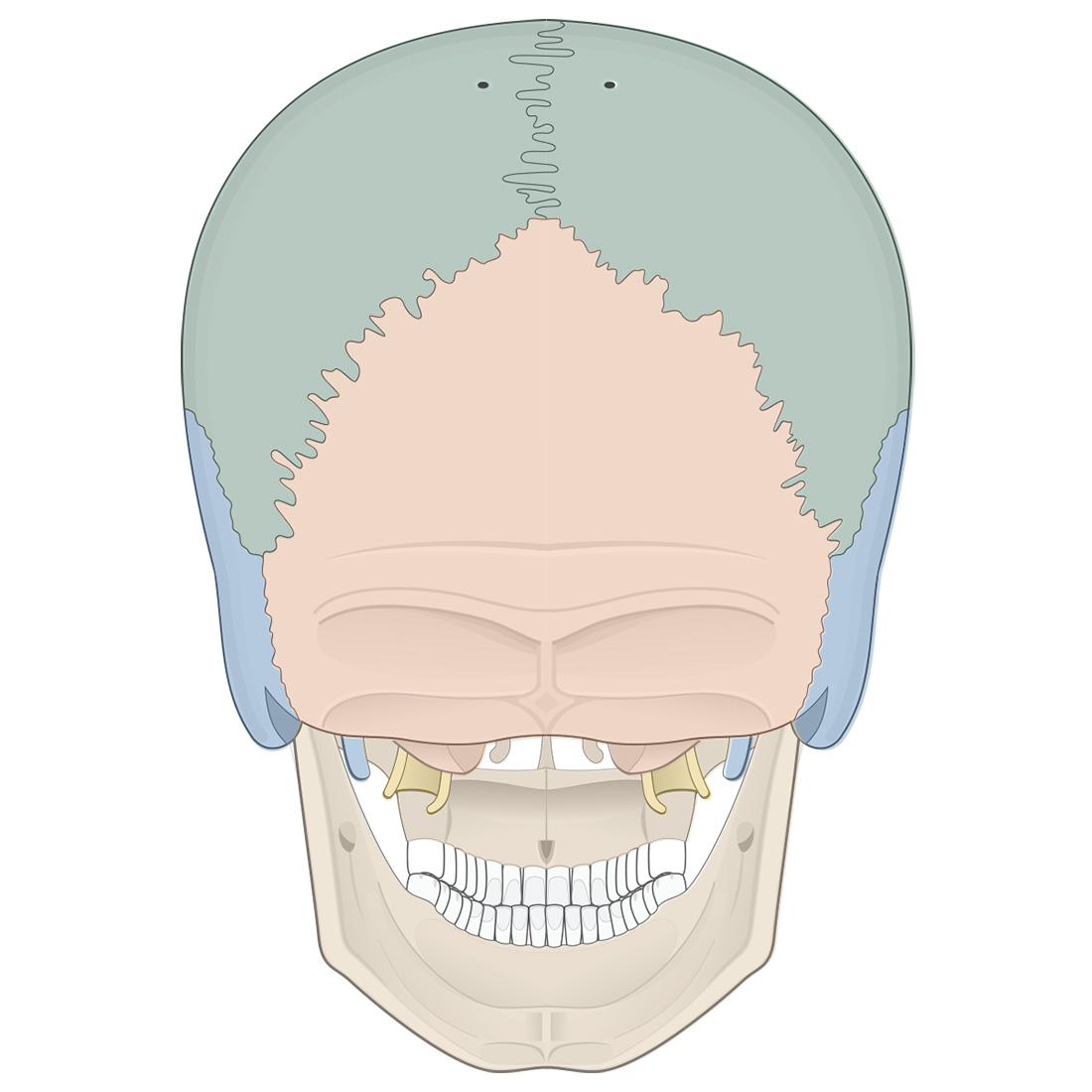 Cranial bones: posterior view of the skull