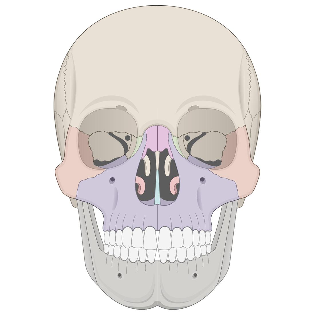 Facial bones: anterior view of the skull
