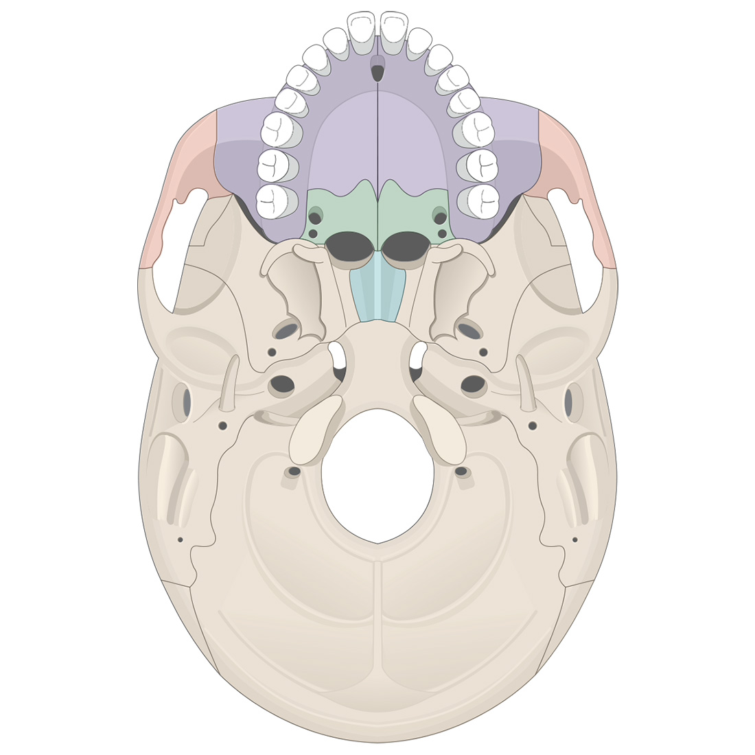 Facial bones: inferior view of the skull