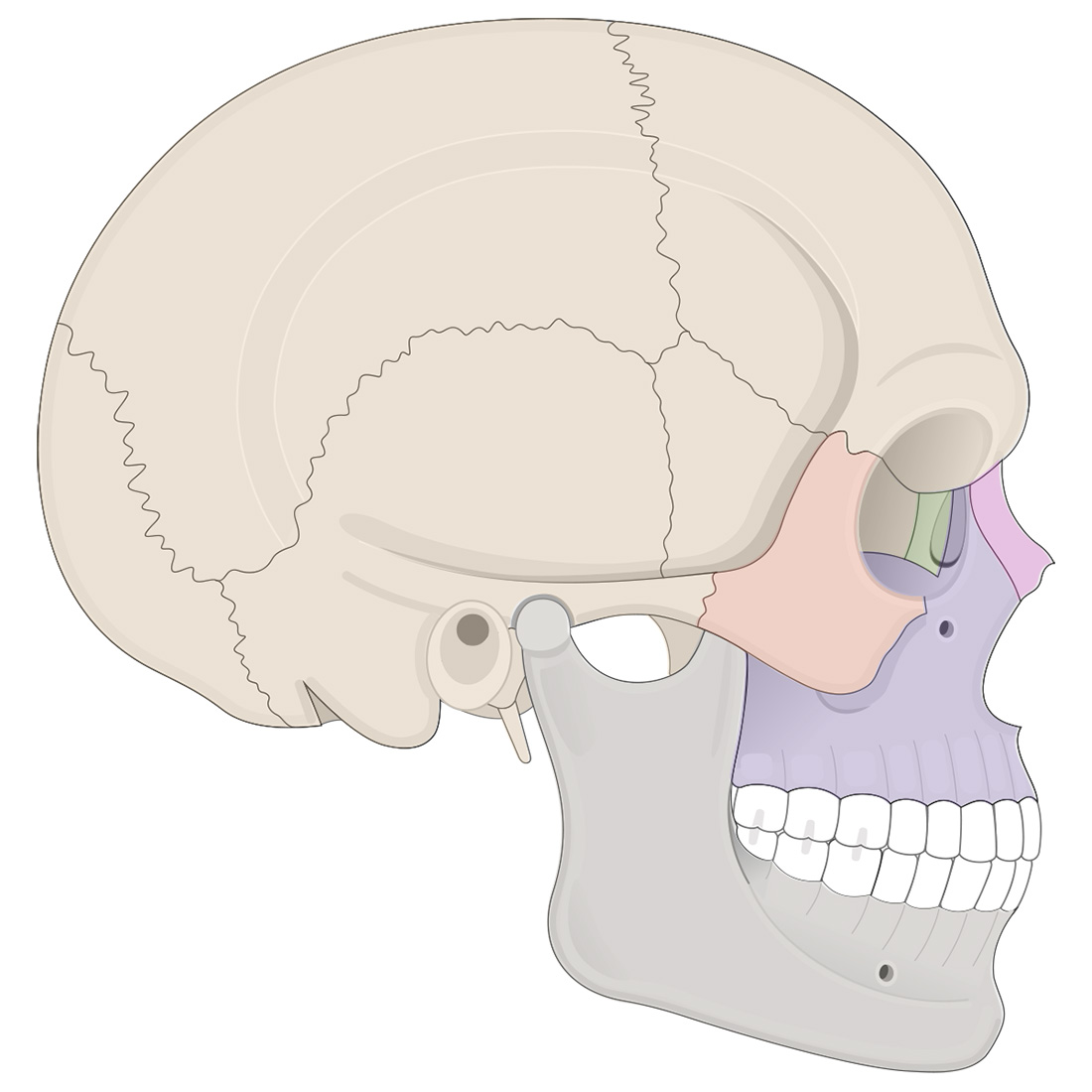 Facial bones: lateral view of the skull