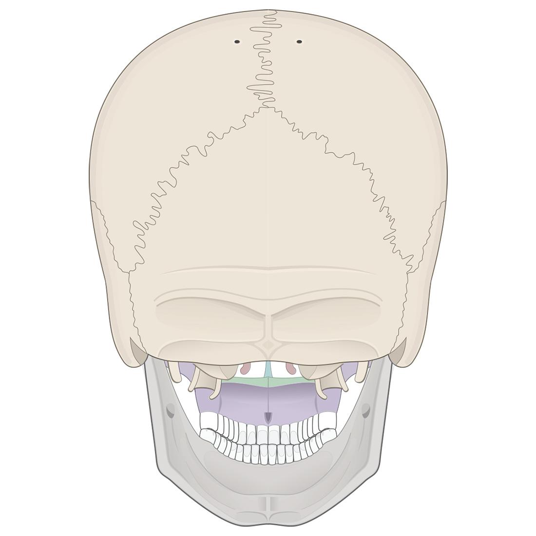 Facial bones: posterior view of the skull